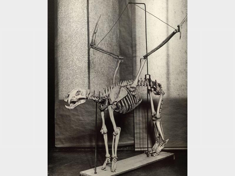 Fauna: Felis penatus, circa 1930 Photo by Hans von Kubert